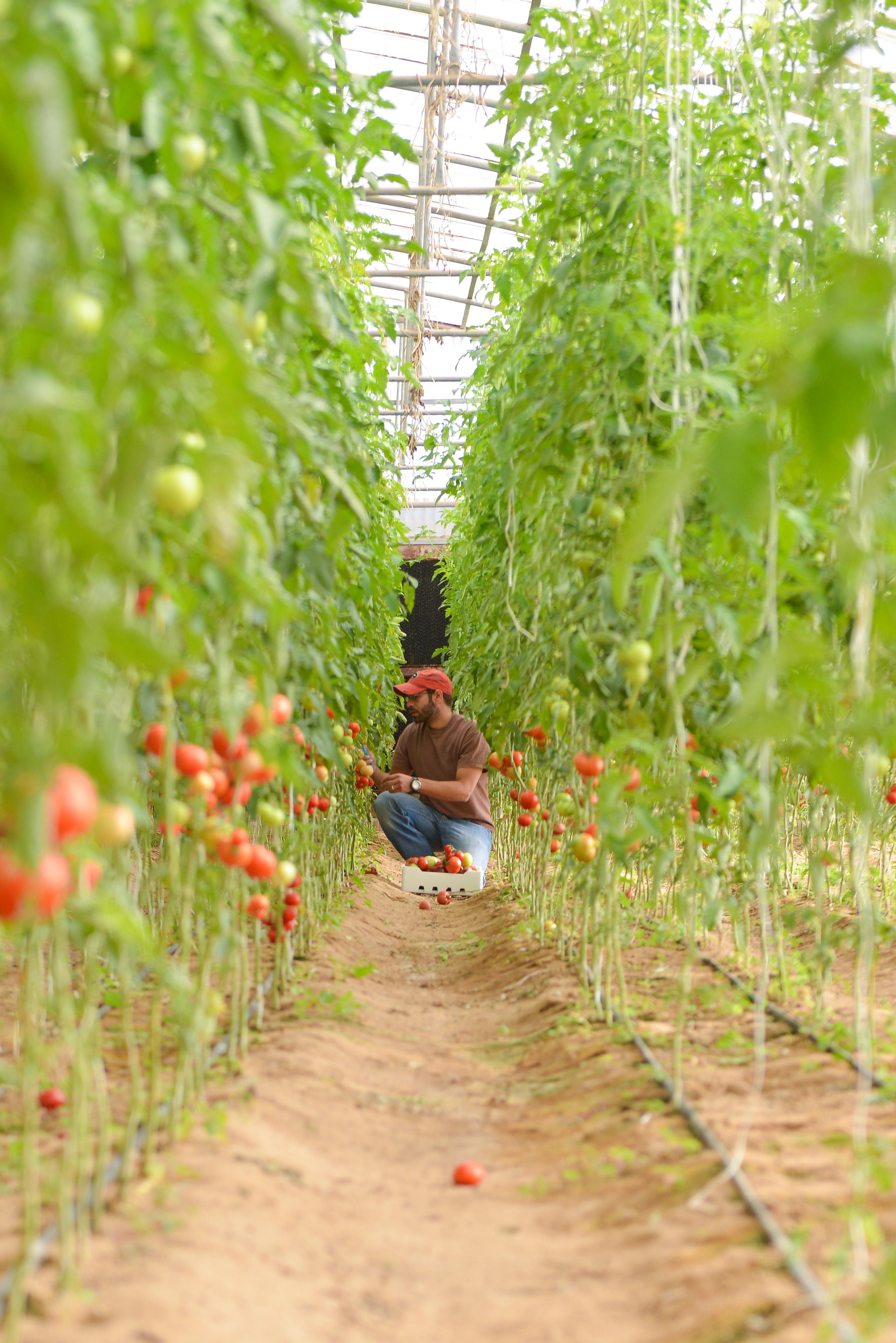 Tomatoes at Kenaneya Farm